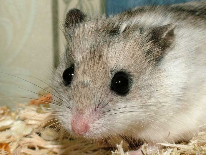 hamster_chinois_02-41ca65.jpg