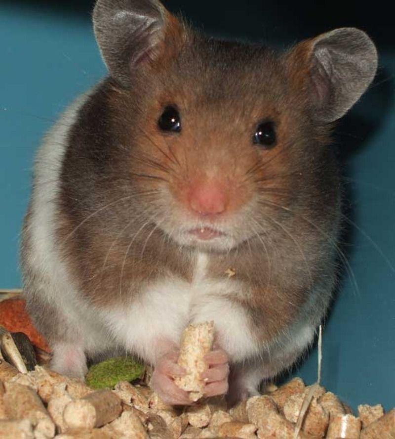 hamster_dore-17f7de0.jpg