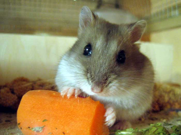 hamster_russe_010-17f7d8a.jpg