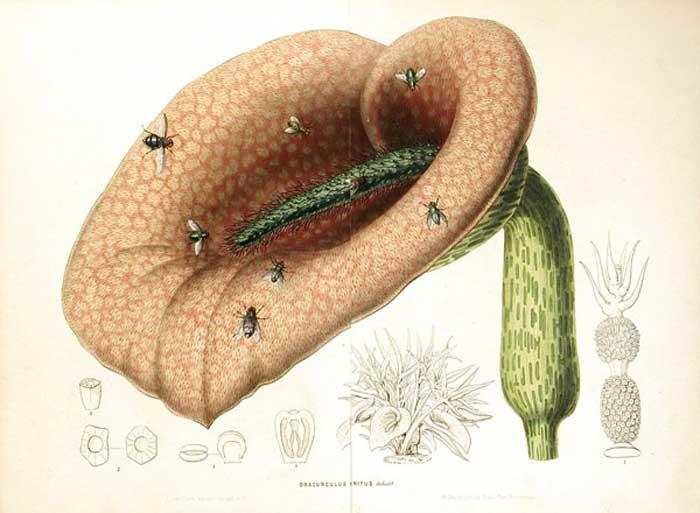 helicodiceros_muscivorus.jpg