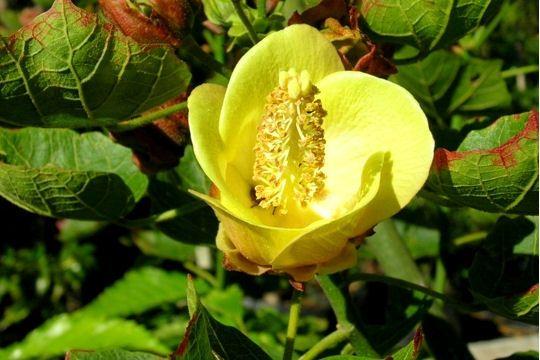 hibiscus-columnaris-.jpg