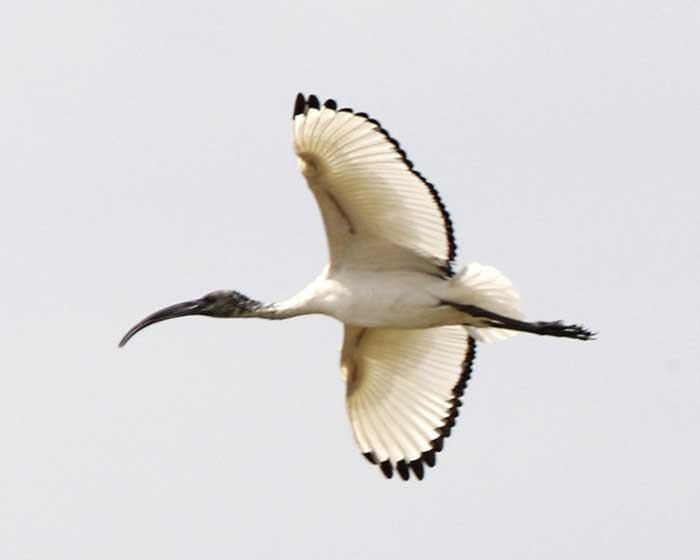 ibis-sacre-1570d5b.jpg