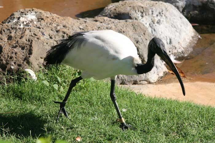 ibis-sacre-3-f243b4.jpg