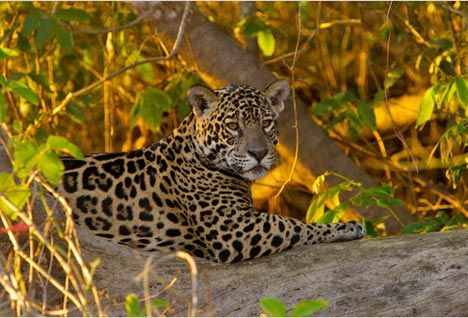 jaguar-brazil-big-cat-panthera.jpg