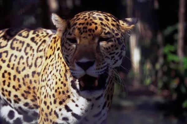 jaguar_ld41.jpg