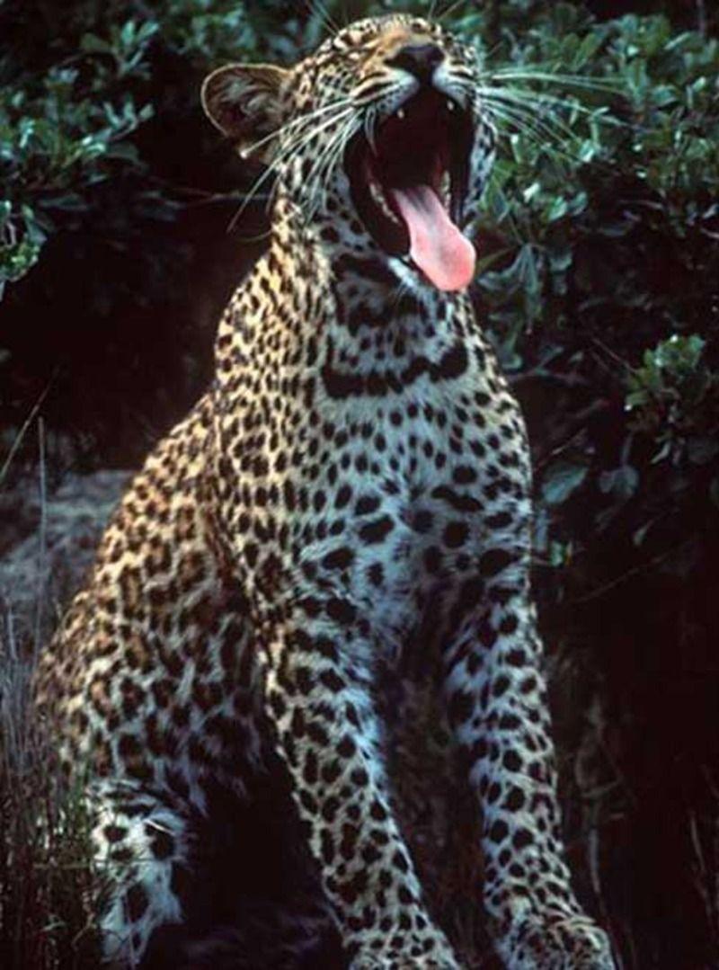 jaguar_ld42.jpg