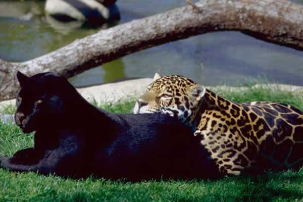 jaguar_ld44.jpg