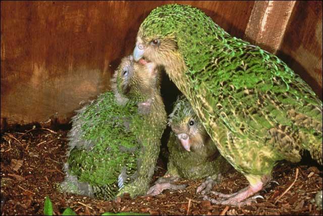 kakapo12.jpg