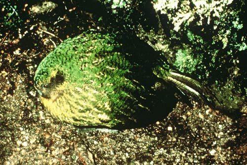 kakapoBooming500.jpg