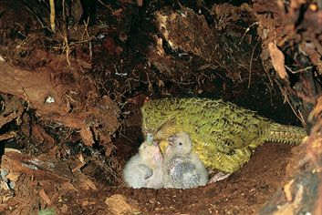 kakapo_chicks.jpg