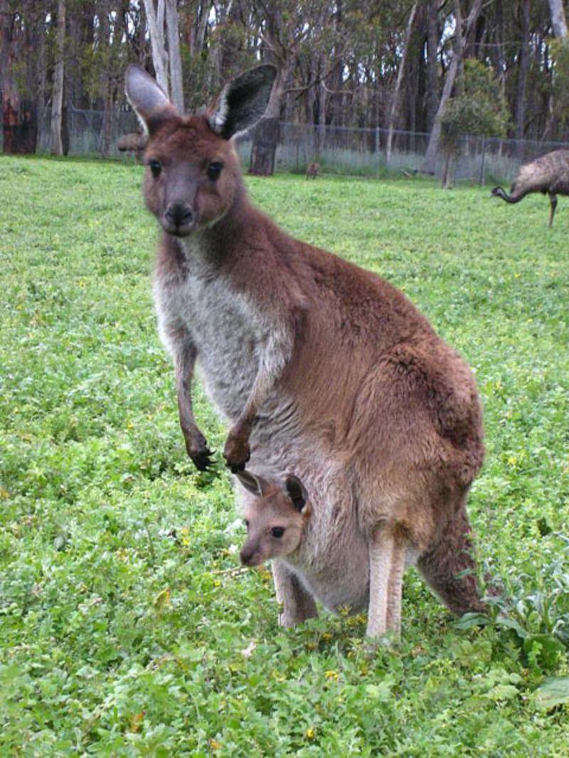 kangourou-8002.jpg