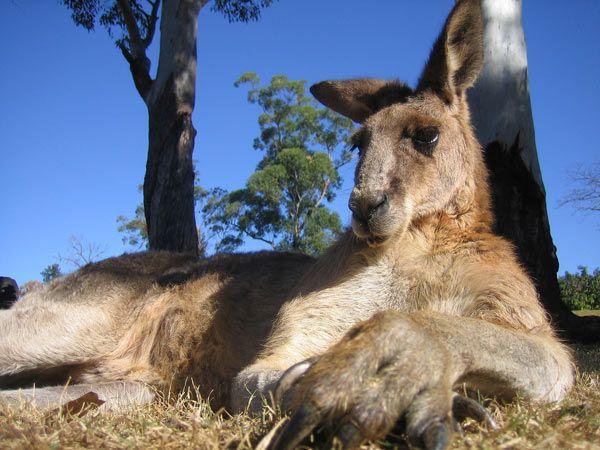 kangourou-8003.jpg