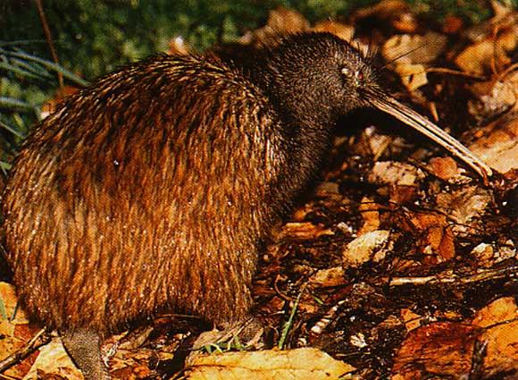 kiwi-140a231.jpg