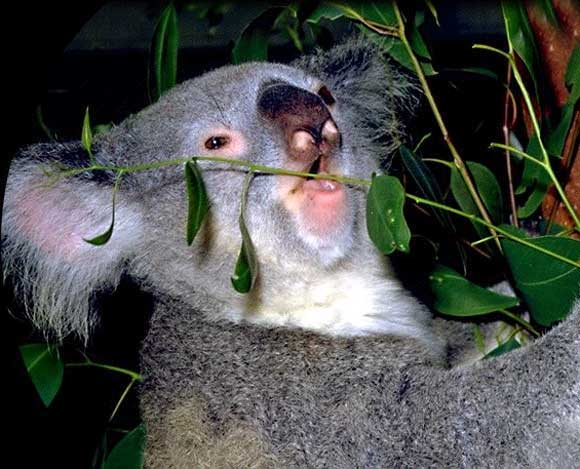 koala_004.jpg