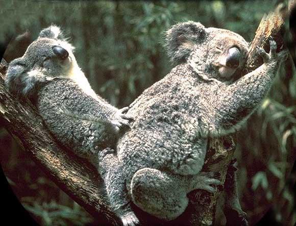koala_006.jpg