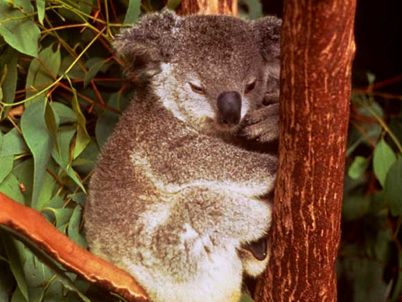 koala_007.jpg