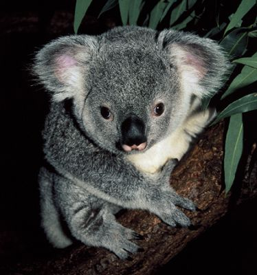 koala_1.jpg