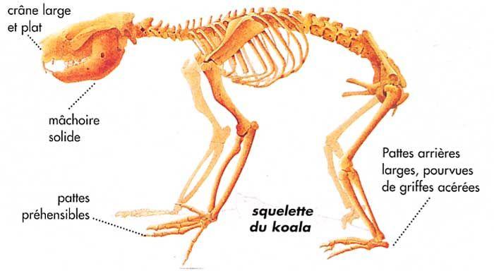 koala_squelette.jpg
