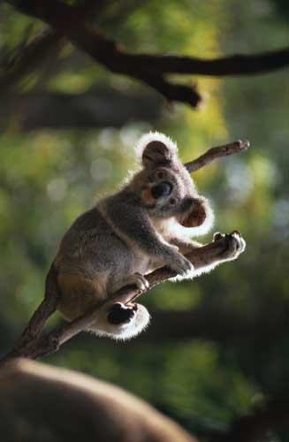 koalald.jpg