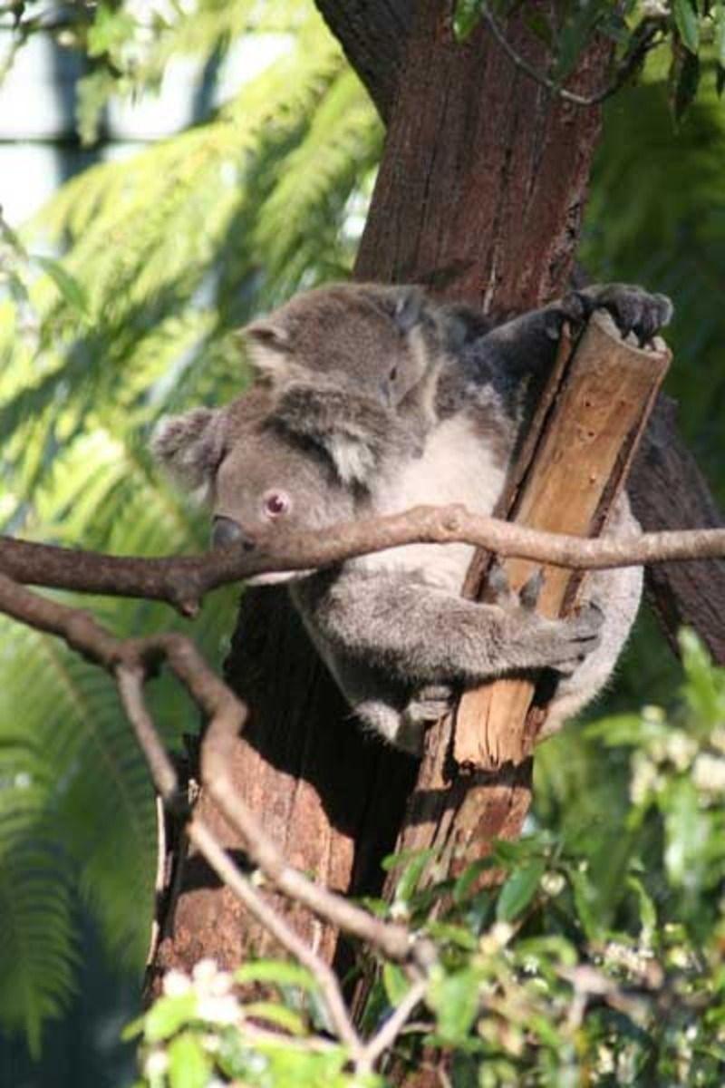 koalald010.jpg