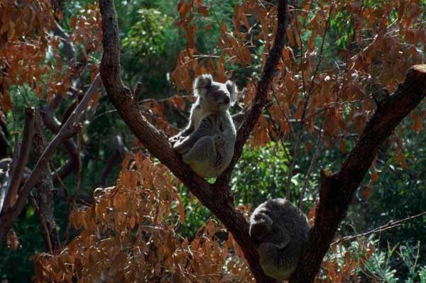 koalald02.jpg