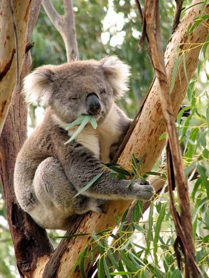 koalald03_cc.jpg