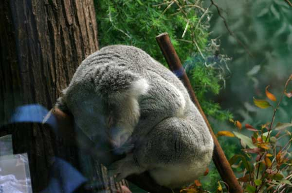 koalald04.jpg