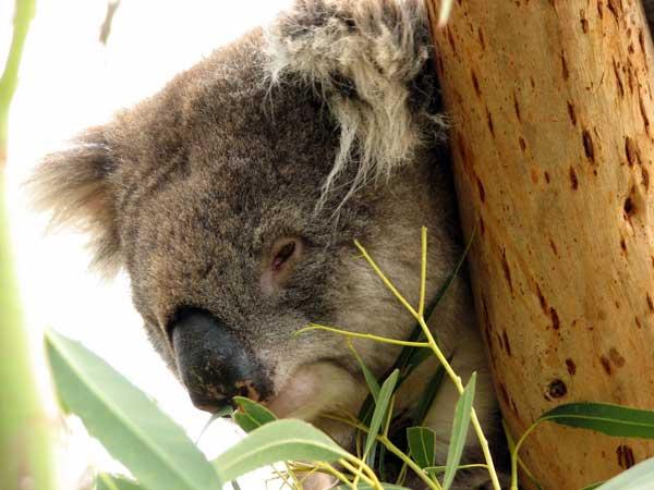 koalald05.jpg