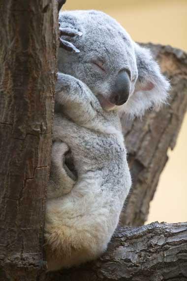 koalald06.jpg