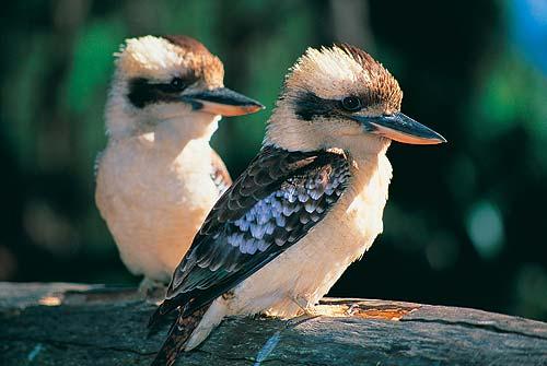 kookaburra-large.jpg