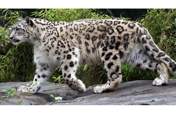 leoparddesneiges3.jpg