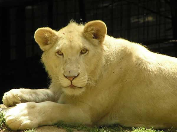 lion-blanc.png