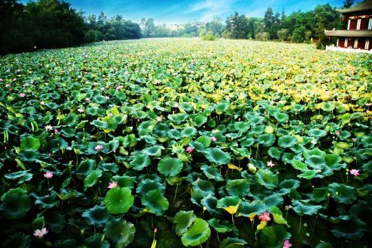lotus-sichuan-chine-771486.jpg