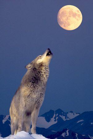 loup-gris-hurlant-a-la-lune.jpg