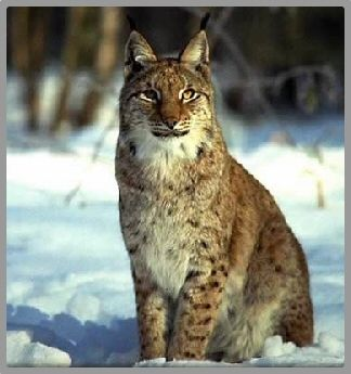 lynx_03c_jpg.jpg