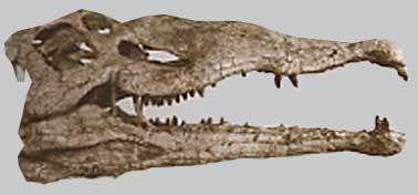 machimosaurus.jpg
