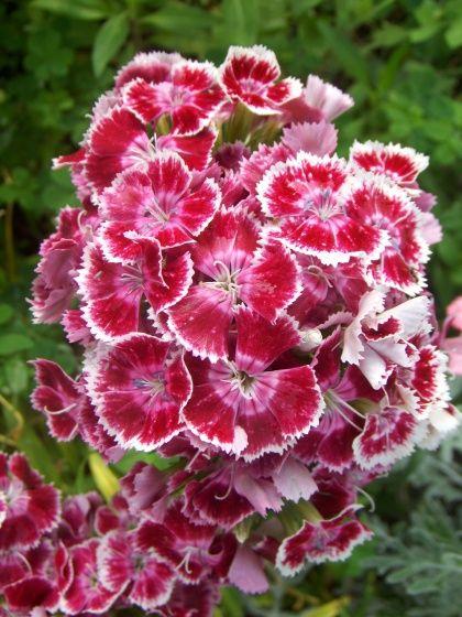 med-oeillet-du-poete-visoflora-2686.jpg
