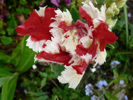 med-tulipe-visoflora-10448.jpg