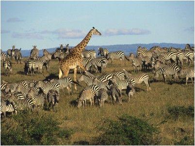 michele-burgess-kenya-girafe-masia-et-troupeau-de-zebres-n-3526990-0.jpg