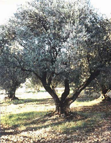 Symboles et le fabuleux pouvoir des arbres - Comment s appelle l arbre du kaki ...