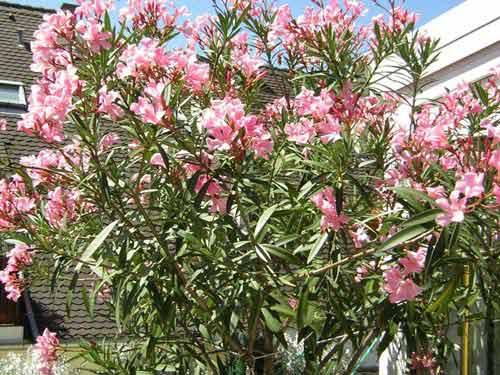 Au jardin le laurier rose - Laurier rose feuilles seches ...