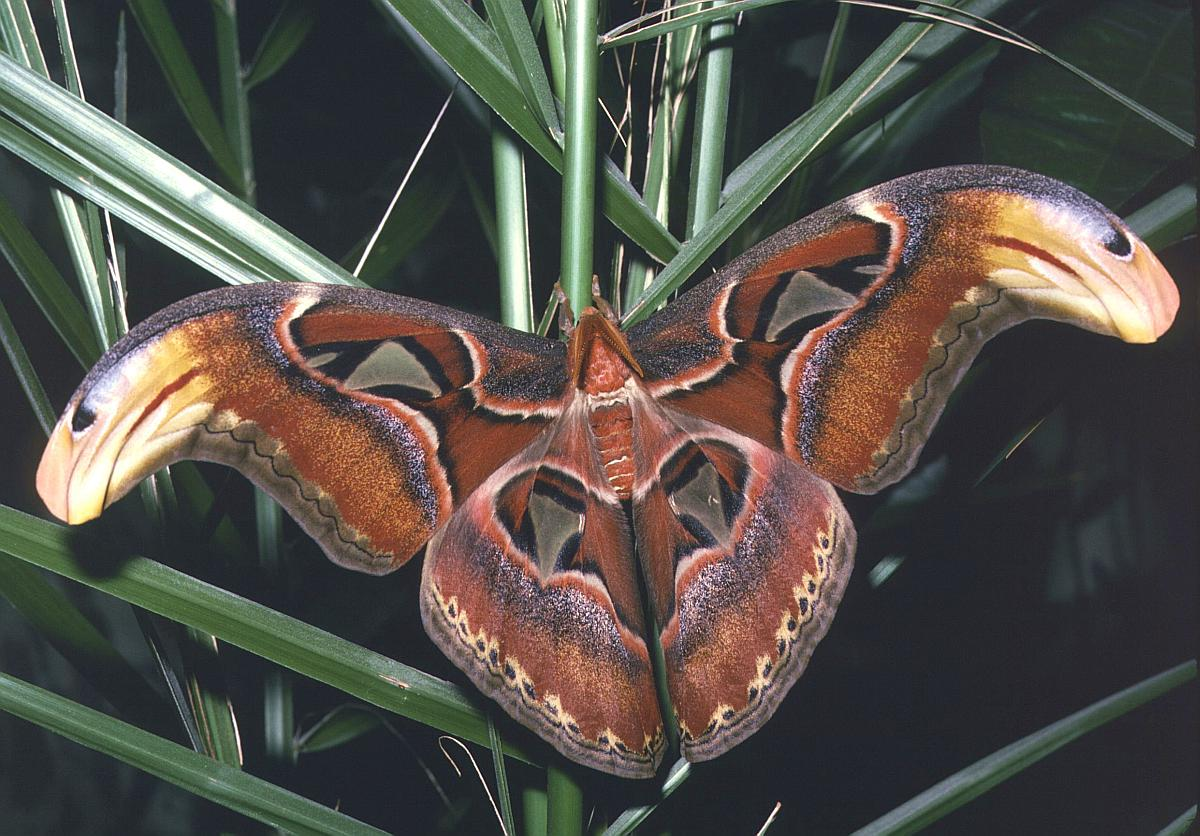 Called The Atlas Moth Caterpilars Are Cool Too