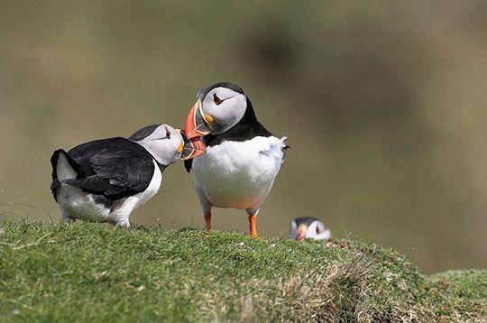 oiseaux-shetland-282855.jpg
