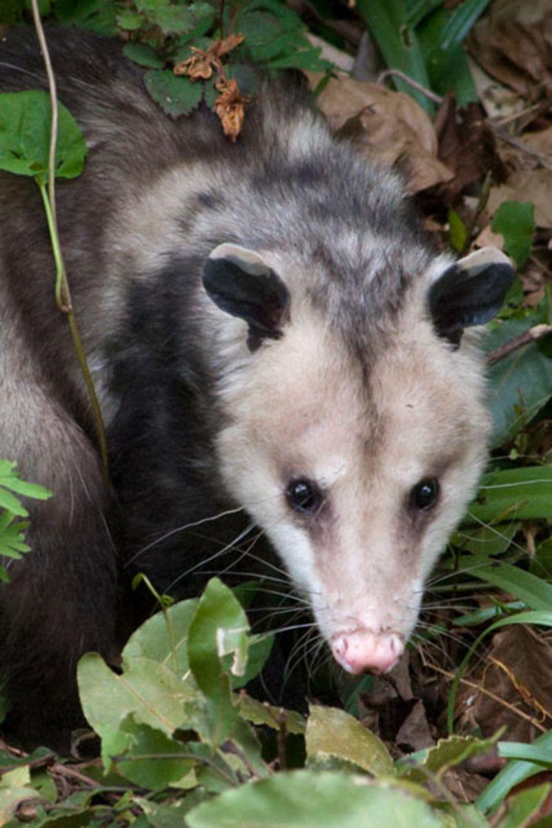 opossum-virgine-80.jpg