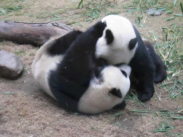 panda-102-19c0c4a.jpg