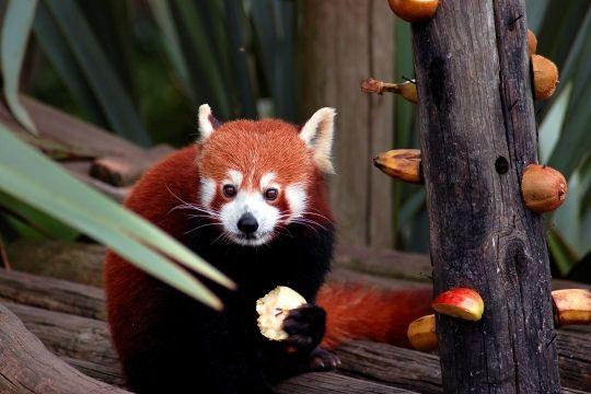 panda-roux-771529.jpg