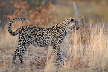 panthere-afrique1_2.jpg