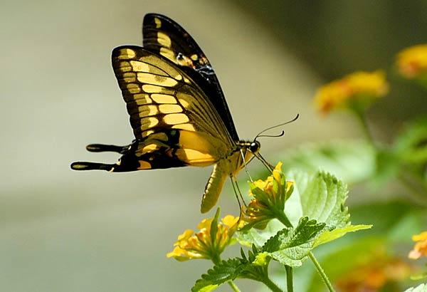 papillon-38.jpg