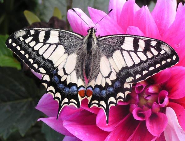 papillon-39.jpg