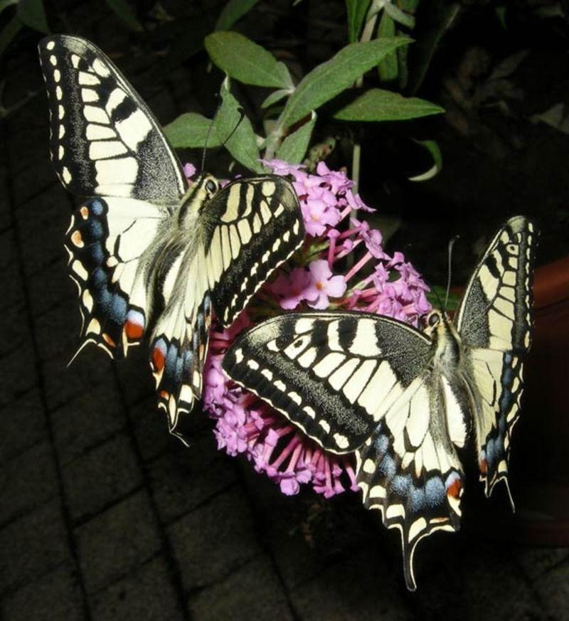 papillon-41.jpg